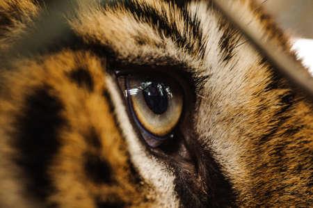 Fierce Bengal tiger eye looking close up