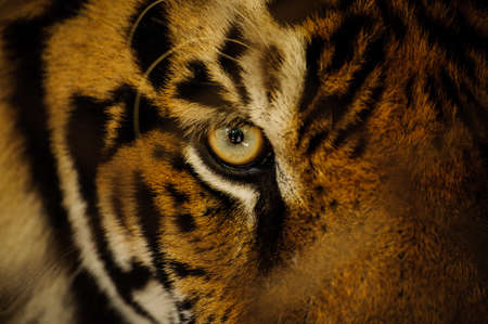 Fierce Bengal tiger eye looking close up