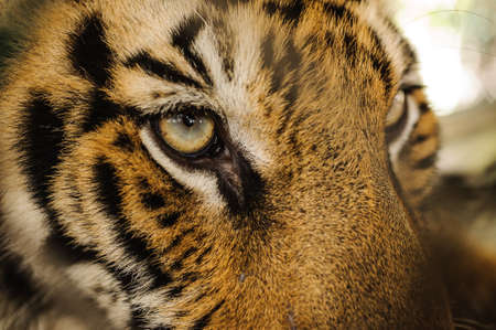 Fierce le tigre du Bengale oeil regardant fermer