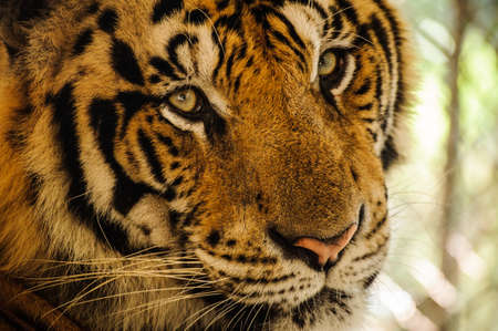 Tiger, portrait of a bengal tiger close up Stock Photo