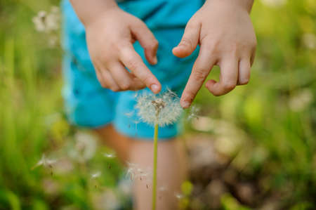 Little boy hands touching a dandelion on the background of fresh green grass on spring day