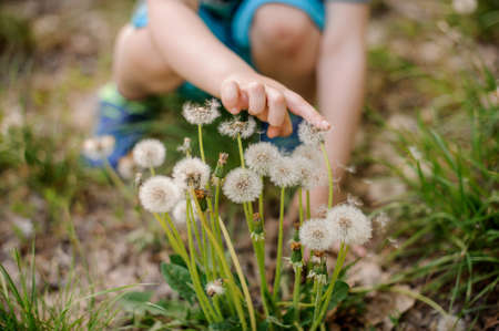Little child hand touching white dandelion flowers walking in the park on a spring day