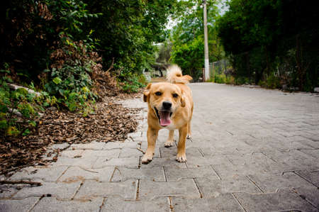 Domestic ginger color dog on the asphalt bricks footpath on the background of street and green plants 写真素材