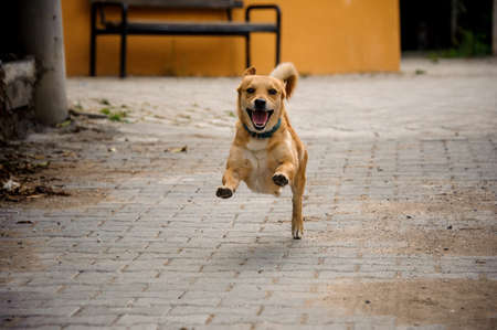 Domestic ginger color dog running on the asphalt bricks walkpath on the background of street and green plants 写真素材