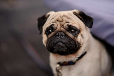 Cute pug puppy with a collar sitting on blurred background with a calm face looking into the distance