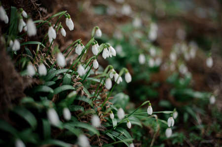 Textured background of the snowdrop among the green leaves