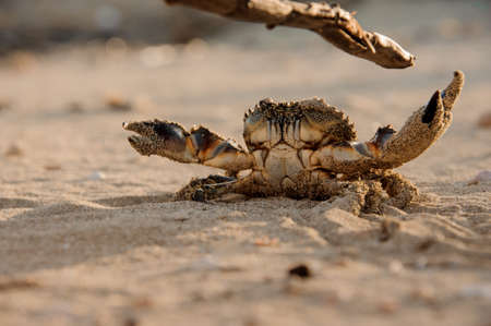 Small crab on a sand beach fights stick with its claws Archivio Fotografico