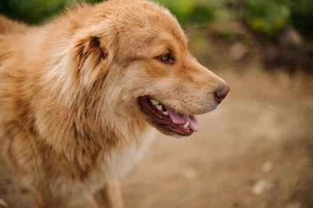 Portrait of happy light brown dog standing outside