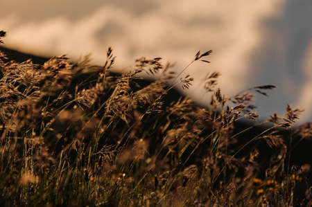 Close up textured background of the dry spikelets on the field in the blurred background