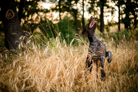 Dark color brown dog sitting on the hind legs in the golden field Stock fotó