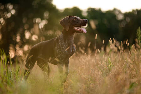 Concetrated brown dog standing among the gold spikelets sticking out his tongue Stock Photo
