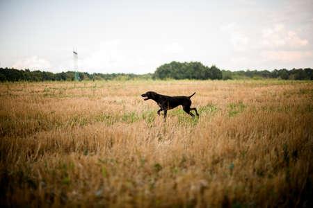 Purebred dark brown dog running through the field