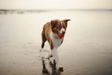 Ginger and white dog running on the sea shore with a ball in the mouth