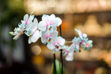 Beautiful blue and pink color orchid with green leaves