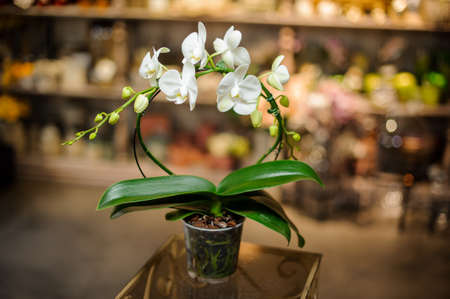 Beautiful white color orchid with green leaves in the transparent pot 版權商用圖片