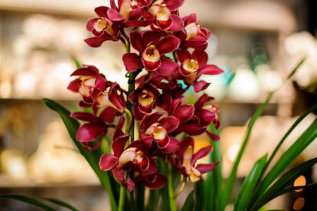 Beautiful red and yellow color orchid with green leaves 版權商用圖片