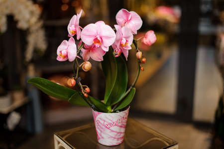 Beautiful rose color orchid with green leaves in the pink pot