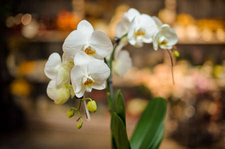 Beautiful white color orchid with green leaves
