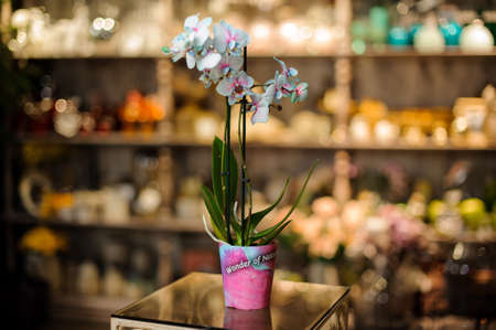 Beautiful blue color orchid with green leaves in the pink pot in the blurred background of flower shop