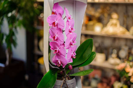 Beautiful pink orchid branch with the darkest core with green leaves in the open white box