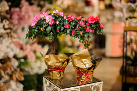 Two beautiful flower pots with pink Azaleas wrapped in golden papper in the blurred background of the flower shop