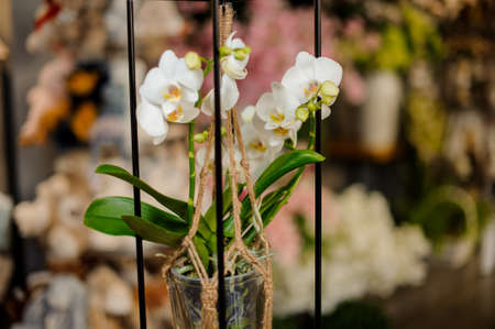 Beautiful white color orchid with green leaves in the pot suspended on ropes