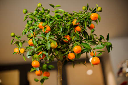Flower pot with young mandarin tree with juicy leaves and orange fruits