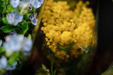 Beautiful bouquet of bright yellow mimosa in the transparent wrapping paper