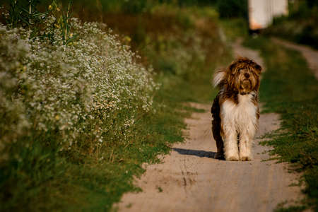 shaggy dog stands on path in the field.