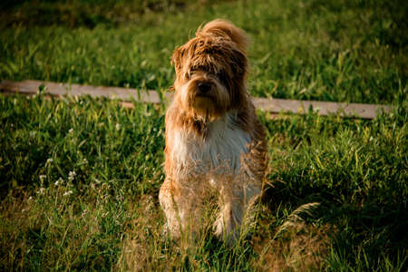 shaggy dog stands on the green grass in the park Banque d'images