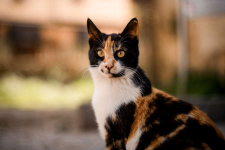 close-up of tricolor mongrel cat outdoors on blurred background