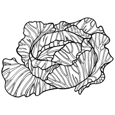 Cabbage black and white hand drawn illustration for adult and children coloring page  or book.