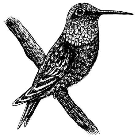 Ruby-throated hummingbird black and white illustration. Tropical bird realistic ink sketch. Line artwork. Monochrome art. Vector illustration. Ilustracje wektorowe