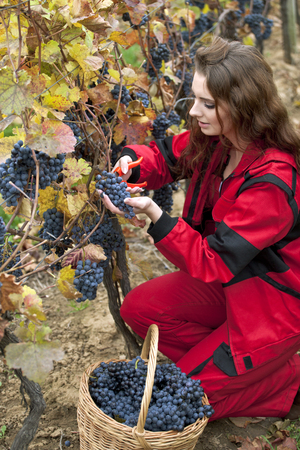 Young attractive brunette working in the vineyard. She is cutting ripe grapes Foto de archivo