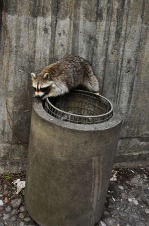 raccoon in a garbage pail