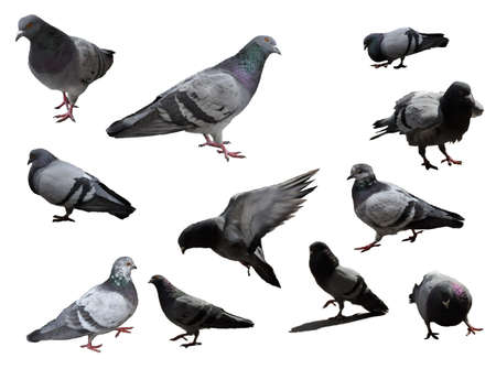 Various Pidgeons on a white background