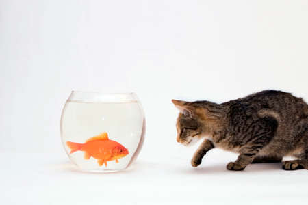 Home cat and a gold fish. Stock Photo - 1612832