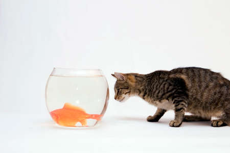Home cat and a gold fish. Stock Photo - 1613483
