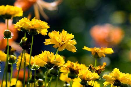 calceolaria: Immagine della bella fiore giallo e blu cielo