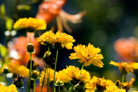 calceolaria: immagine della bella fiore giallo e blu cielo Archivio Fotografico