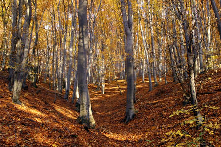 beechwood:  autumn colors in the forest Stock Photo