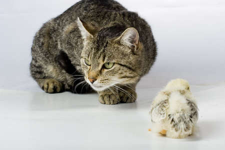 Chicken and cat photo