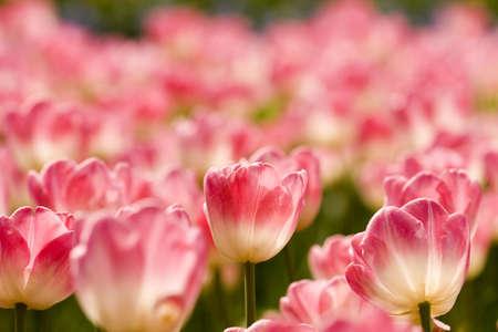 Tulips Stock Photo - 3014069