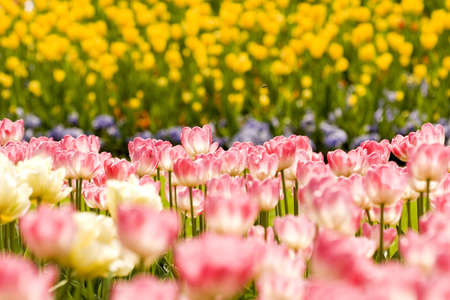 Tulips Stock Photo - 3014079