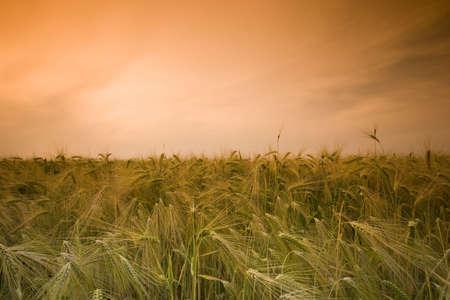 Wheat field Stock Photo - 3138027