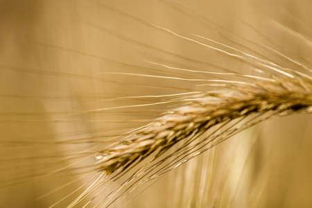 Wheat field Stock Photo - 3245193
