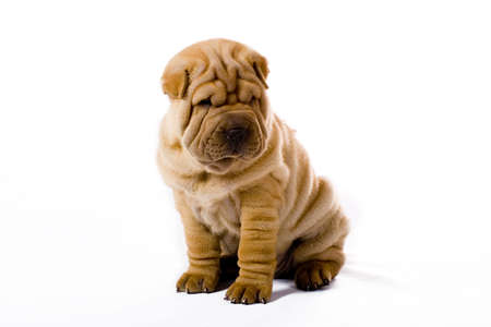 Funny sharpei puppy isolated on white background Stock Photo - 3385699