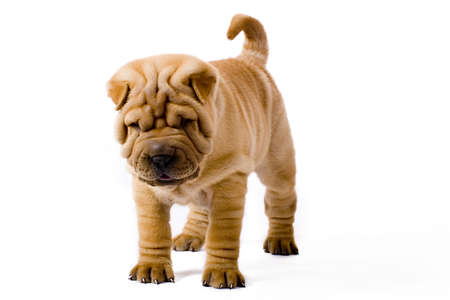 Funny sharpei puppy isolated on white background photo