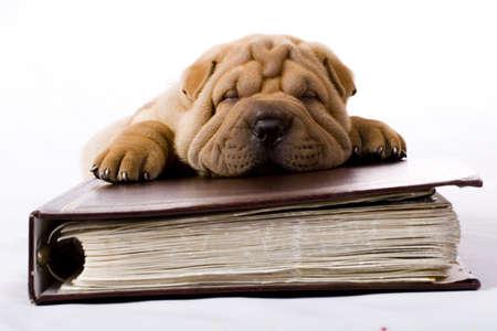 clumsy: Funny sharpei cucciolo isolato su sfondo bianco