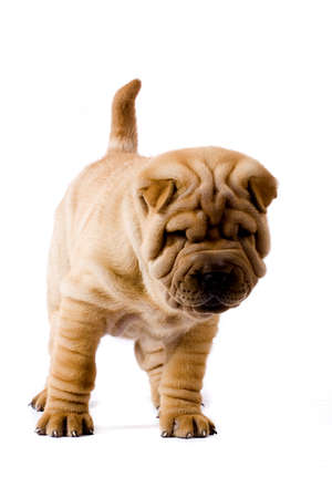 Funny sharpei puppy isolated on white background Stock Photo - 3385736